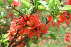 Chaenomeles Japonica 10 500 Seeds Cold Hardy Bonsai Red Japanese Quince Shrub