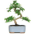 Brussels Bonsai Chinese Elm Bonsai Tree Small CT9005CE