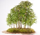 Brussels Bonsai Tree Specimen Trident Maple Grove 13 Trees