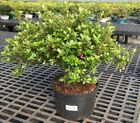 Brussels Bonsai Satsuki Azalea Bonsai Tree 3 GALLON DTAZ3G