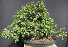 Large Ficus microcarpa Bonsai Tropical Tree Glazed Ceramic Pot