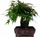 1 x Japanese Japanese Maple Approx 12 J 21 cm Bonsai Trees Tree Plant BZ3
