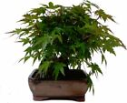1 x Japanese Japanese Maple Approx 12 J 22 cm Bonsai Trees Tree Plant BZ4