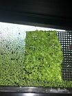 600+ Live Duckweed Plant | 2 FOR 1 SALE!