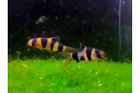 1 Clown Loaches Oddball Pattern 1