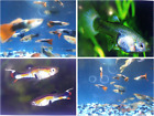 (30) Guppies  - Guppy Tropical Fish- Assorted Types - Males & Females