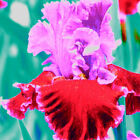 2 Bearded Iris Reblooming German Iris Roots Bulb Orange Pretty Rhizome Not Seeds