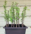 American Larch Bonsai 15 Tree Forest