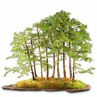 BRUSSELS BONSAI GOLDEN LARCH SPECIMEN BONSAI ST2919GLG 35
