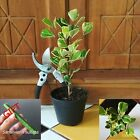 1 Plant Ficus Triangularis Variegated Bonsai Tree Live + FREE GIFT