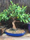 Specimen Ficus Retusa 15 Years Old