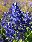 Native Texas Bluebonnet Seed Wholesale 500 seeds 5 FREE SHIPPING