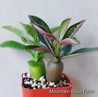 Desert rose Adenium obesum seedlings Two plantssucculents shipping Heat pack