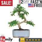 Chinese Elm Outdoor Bonsai Tree 5 Years Old 6 to 8 Tall with Decorative Con