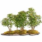 Brussels Bonsai Trident Maple Grove ST3119TMG Outdoor Bonsai Live Tree