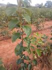 1 FUYU PERSIMMON FRUIT TREE 4ft 5ft Tall Bare Root Tree