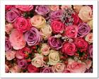 Purple And Pink Roses Art Print Canvas Print Poster Wall Art Home Decor