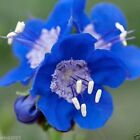 3000 California Bluebell Seeds(Phacelia Campanularia) ,vibrant  blue bloom !