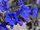 1000 California Bluebell Seeds(Phacelia Campanularia) ,vibrant  blue bloom !