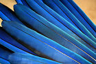Macaw Parrot Bird Tail Feathers Natural lotSF039
