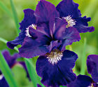 2 Ceasars Brother - Siberian Iris Rhizome Plants-Potted