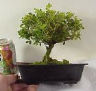 Pre Bonsai Tree Morris Midget Boxwood 16 yrs 7 Tall 3 4+ Trunk FULL Canopy