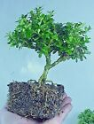 Pre Bonsai Tree Morris Midget Boxwood 16 yrs 6 Tall 3 8+ Trunk Nice Canopy