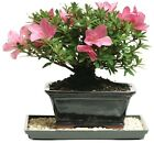 Brussels Bonsai Satsuki Azalea Outdoor garden Tree plant decor pink blossoms