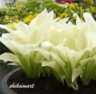 Hosta plantaginea Seeds Fragrant plantain Flower Fire And Ice Shade White 20pcs