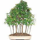 Trident Maple Bonsai Tree Grove Perennial Favorites