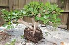 large and nice old green island ficus pre bonsai three trunks in one group