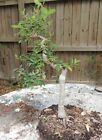 Nice collected Florida Drake elm for bonsai