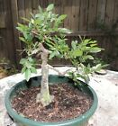 Old Florida elm fat root base for bonsai