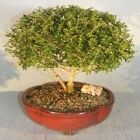 BONB E2872 Bonsai Boys Chinese Flowering White Serissa Extra Large Tree of a