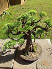 Artificial fake Pine Bonsai Tree Realistic Hand Made 16 Chinese Japanese wood