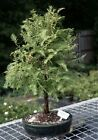 BONB E1469 Bonsai Boys Redwood Bonsai Tree metasequoia glyptostroboides