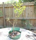 Florida elm for bonsai