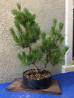 Japanese Black Pine Bonsai Twin Trunk Healthy Tree