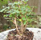 pomegranate clump style pre bonsai