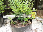 small collected florida elm pre bonsai