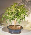 BONB E3179 Bonsai Boys Golden Hawaiian Umbrella Bonsai Tree Medium arboricola
