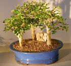 BONB E3025 Bonsai Boys Chinese Elm Bonsai Tree Aged Three 3 Tree Forest Group