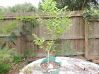 sweet collected florida elm pre bonsai