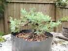 real nice juniper parsonni for bonsai