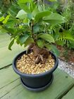 Bonsai Ficus potted As Pictured live House plant 2