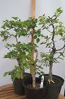 Korean Hornbeam group 7 06G