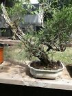 tunuki juniper bonsai