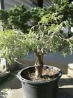 hinoki double graft bonsai material