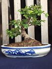 Sweet Plum Shohin Bonsai