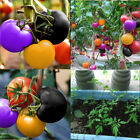100PCS Rainbow Tomato Seeds Home Garden Vegetable Seed Ornamental Potted PT036